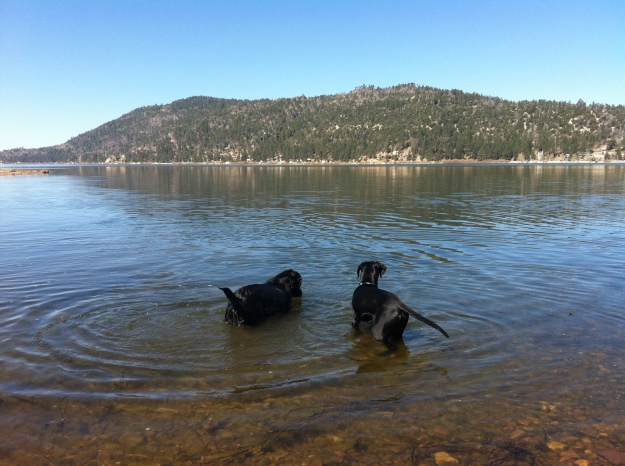 The dogs playing in the lake - Angus wasn't totally sure about swimming in the lake, so he walked around in it instead!